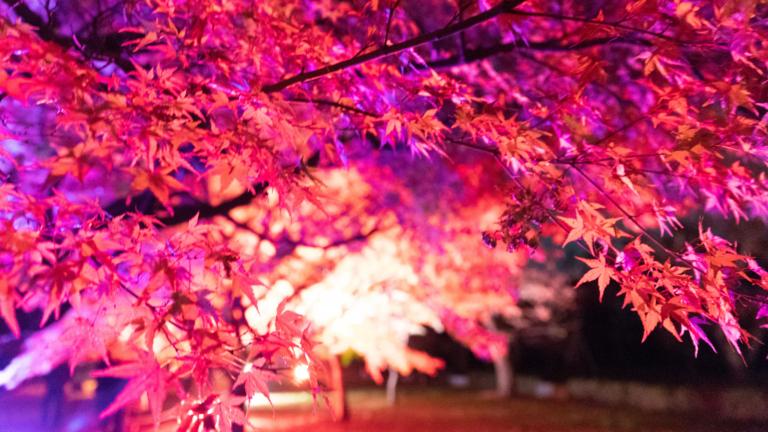 夜の紅葉の画像