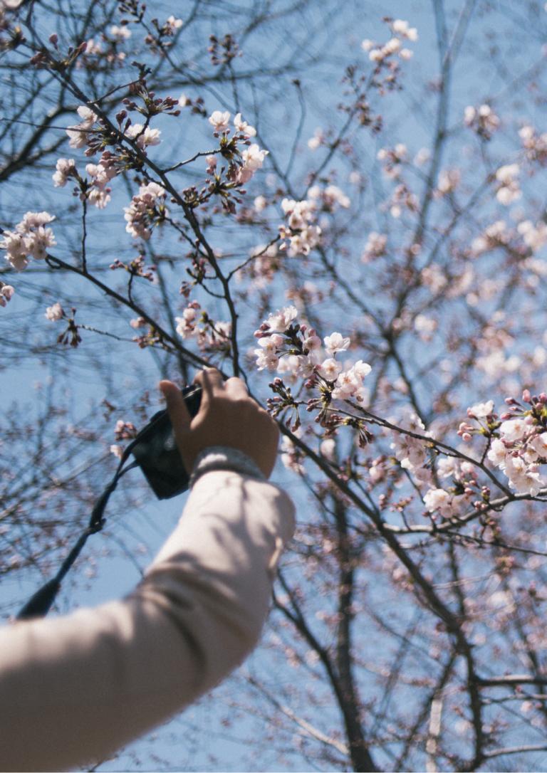 桜の写真を撮っている画像