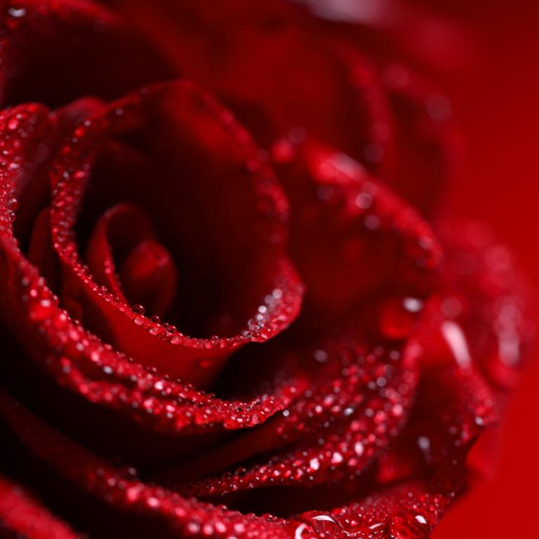 薔薇の画像