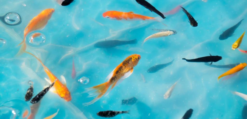 沢山の金魚の画像