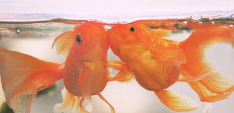 金魚2匹の画像