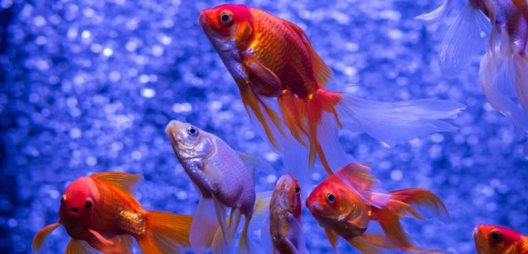 水槽の金魚の画像