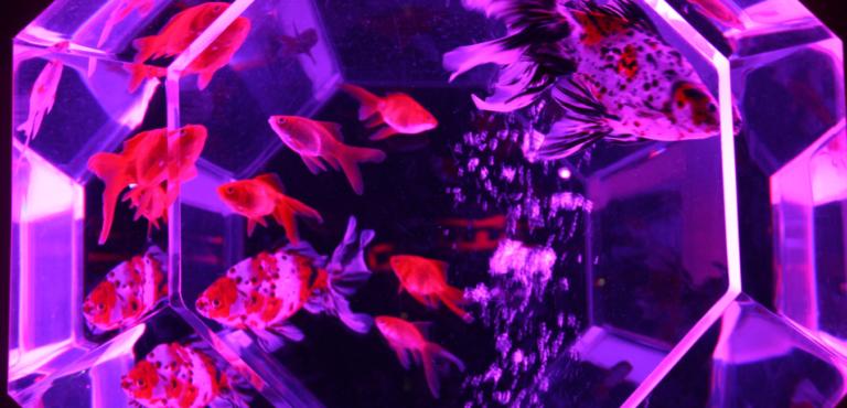 水槽の中の金魚の画像