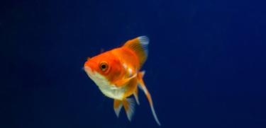 金魚の画像